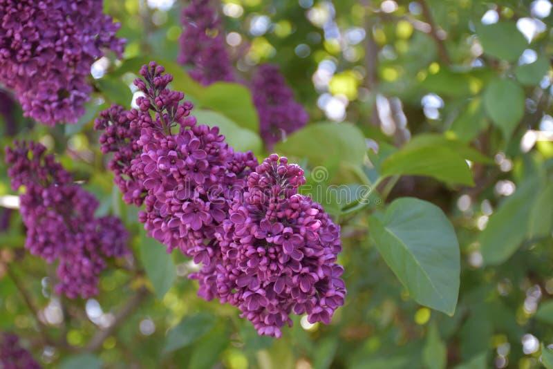 Lila Bush púrpura muy bastante floreciente en la primavera foto de archivo libre de regalías