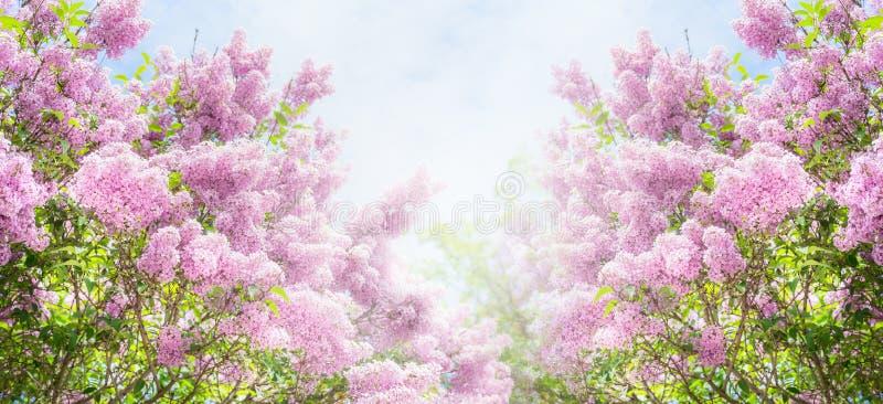 Lila buske över himmelbakgrund Lilan blommar i trädgård eller parkerar royaltyfria foton