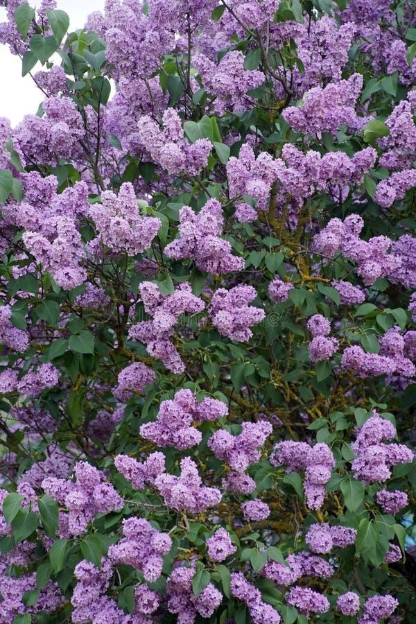 Lila buske i blommaknoppar V?ren kan Blomma v?xt arkivbilder