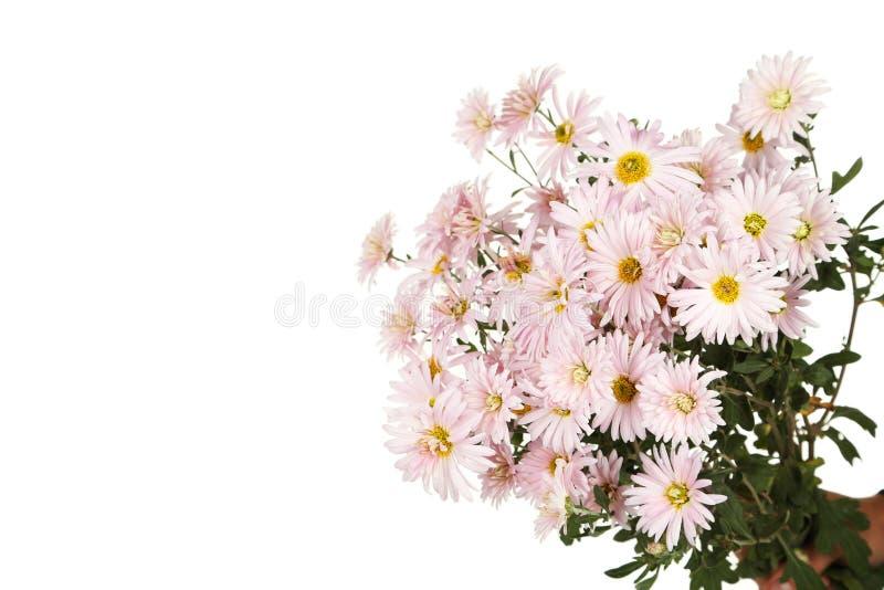 Lila Chrysanthemen, Herbst blüht auf einem weißen Hintergrund stockbild