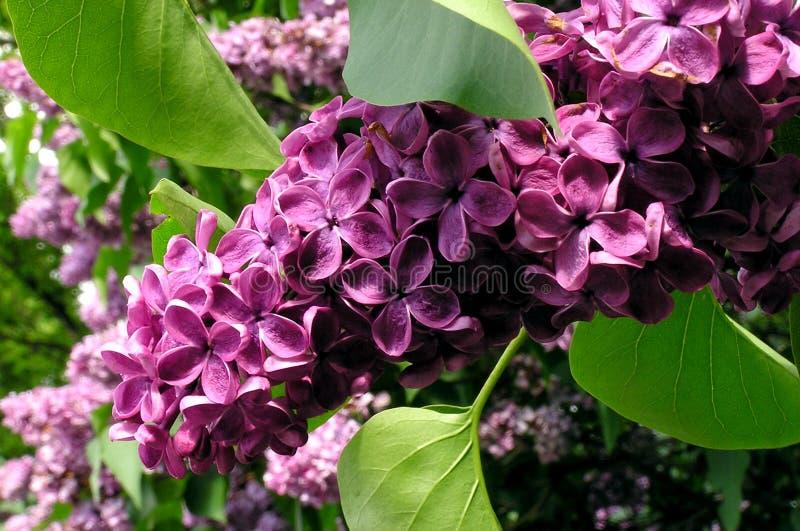 Lila floreciente imagen de archivo