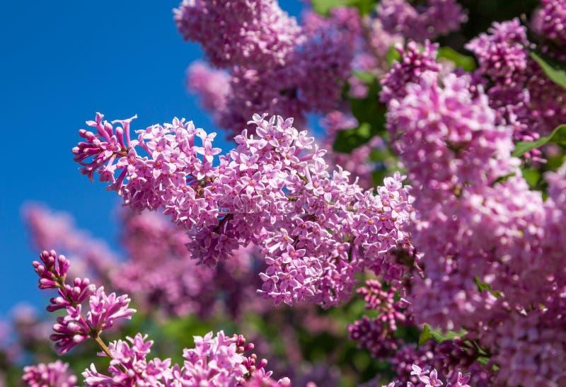 Lila floreciente Cierre para arriba imagen de archivo libre de regalías