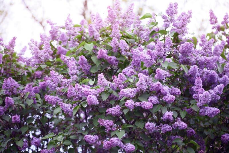 Lila floreciente del arbusto hermoso en el jardín del verano imagen de archivo libre de regalías