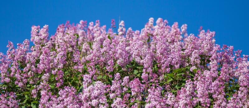 Lila floreciente en el azul Cierre para arriba imagenes de archivo