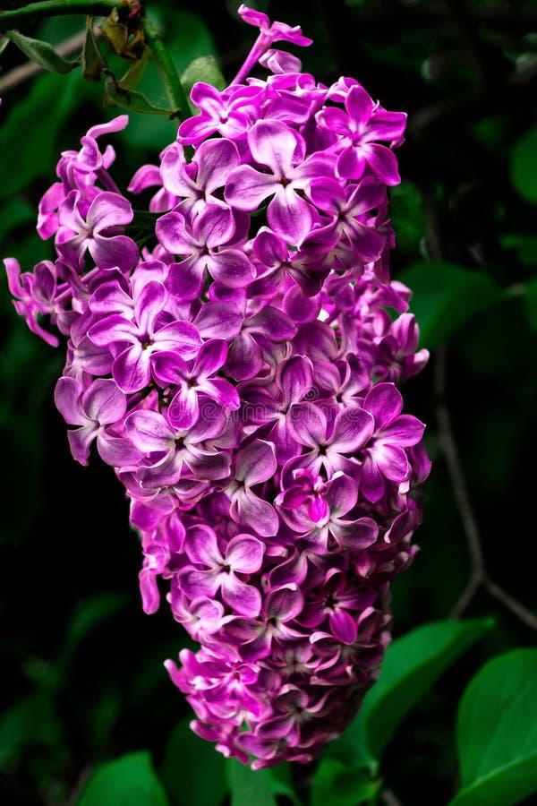 Lila floreciente hermosa imagen de archivo libre de regalías