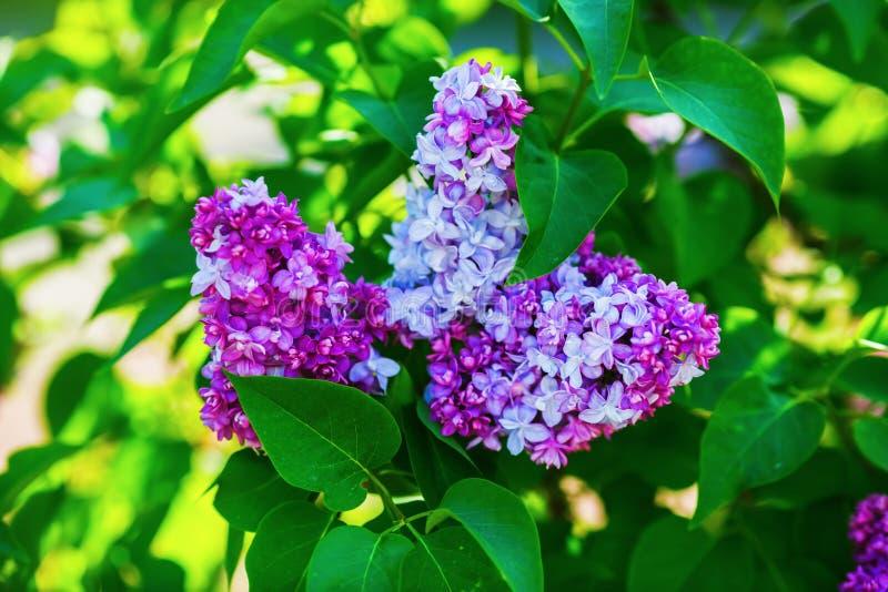 Lila floreciente hermosa fotografía de archivo