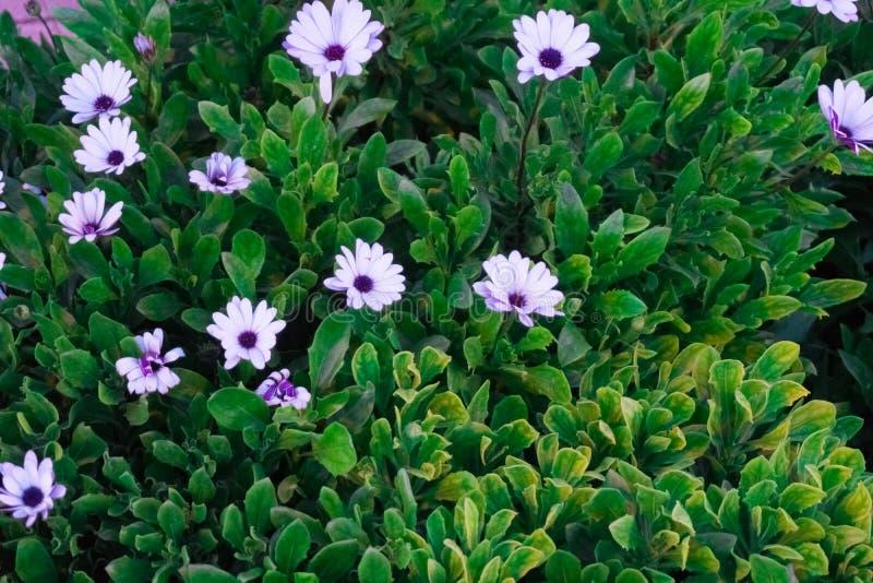 Lila Gänseblümchen, die den Garten verzieren lizenzfreies stockfoto