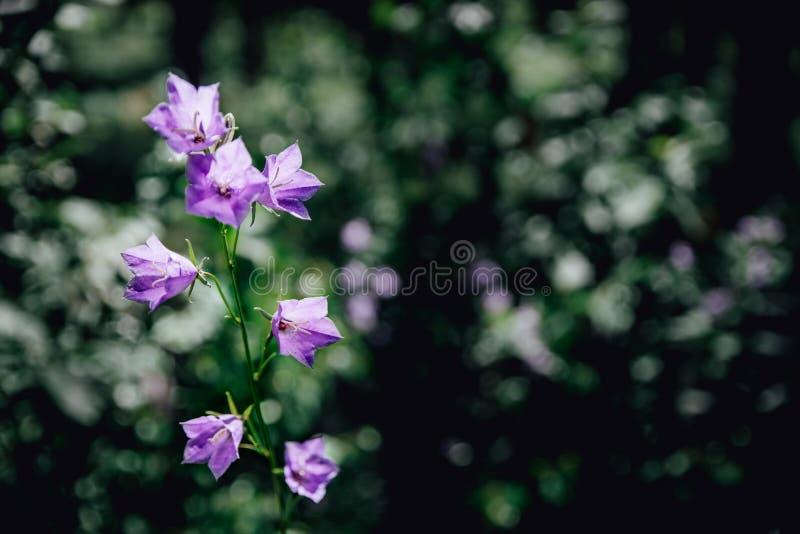 Lila Glocken blühen in den Sommerwaldwaldglocken auf sonniger Tagesblauen Blumen im Grasabschluß oben stockbilder