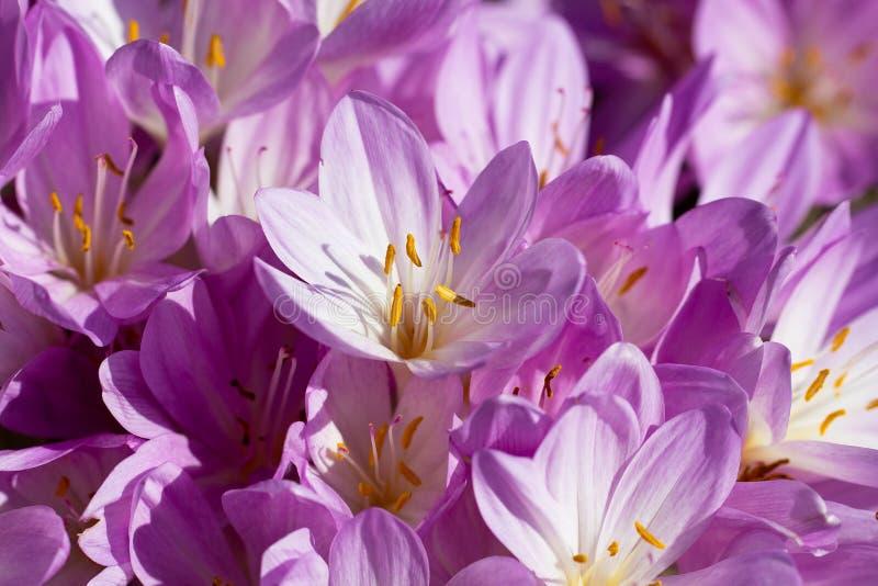 Lila Herbstzeitloseblumen, die im Garten blühen stockbilder