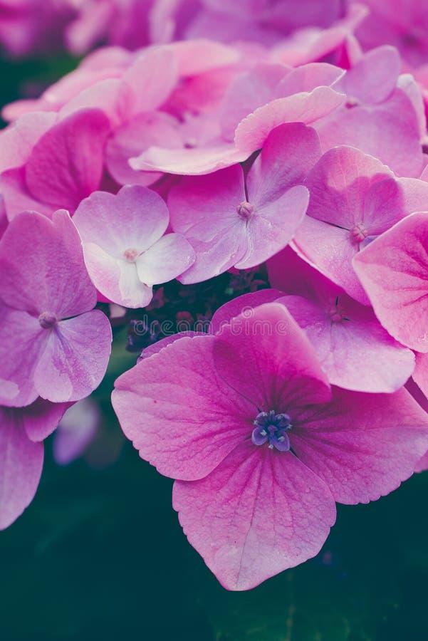 Lila Hortensieblumen zusammen vereinbart Abschluss oben lizenzfreies stockbild