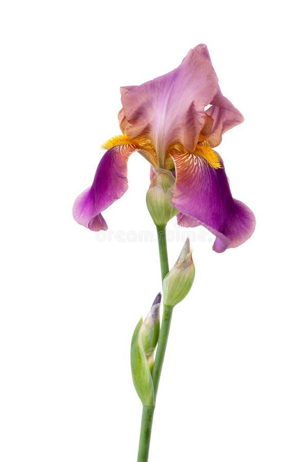 Lila Iris auf einem weißen Hintergrund lizenzfreie stockbilder