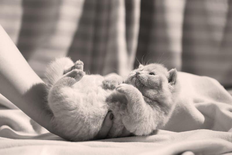 Lila Kätzchen des Britisch Kurzhaars, das oben auf Bettlaken, Tatzen sitzt lizenzfreie stockfotos