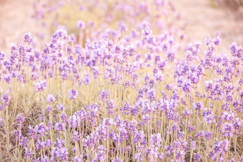 Lila-Lavendel im sanften Licht- und Gelbton stockfoto