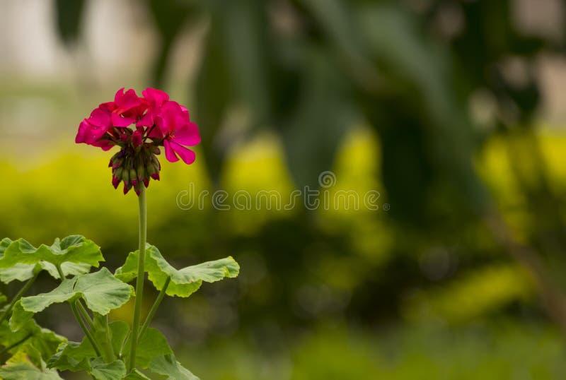 Lila makro för blommafärg med kronblad royaltyfria foton