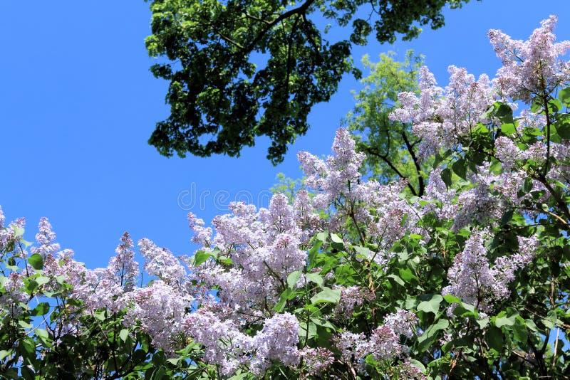 Lila mjuk färg, grönt träd och blå himmel i vår royaltyfria bilder