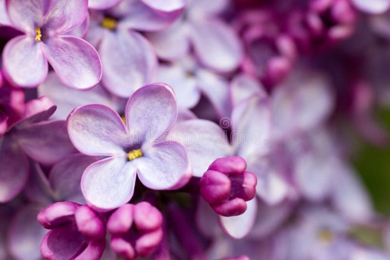 Lila Niederlassung lila Blumen auf der Niederlassung lila kleine lila Blumen Makrokonzept stockbilder