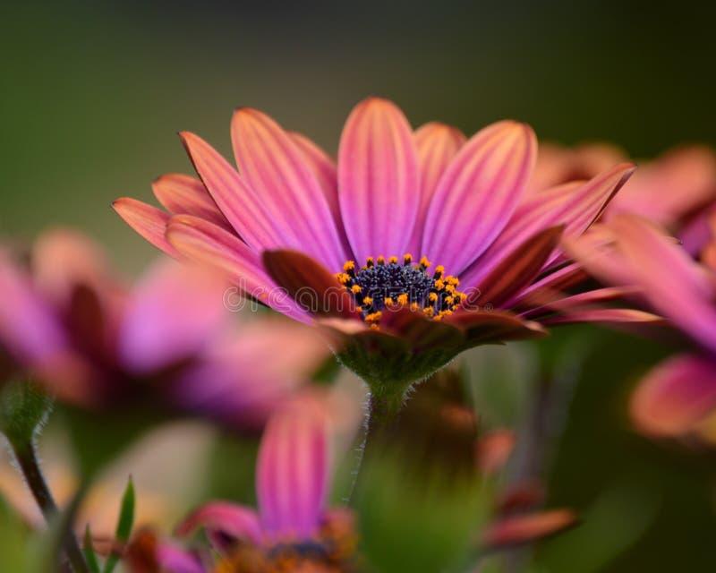 Lila- och rosa färgblommor arkivfoto