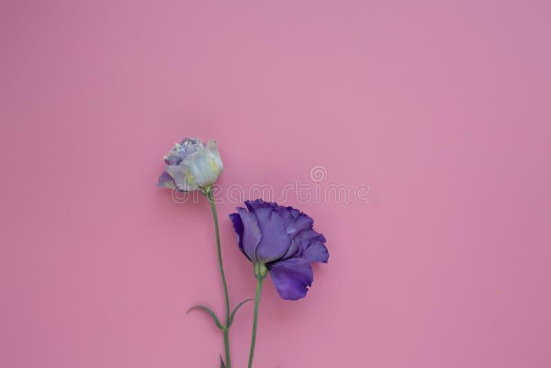 lila och vit eustoma på en rosa bakgrund royaltyfri fotografi
