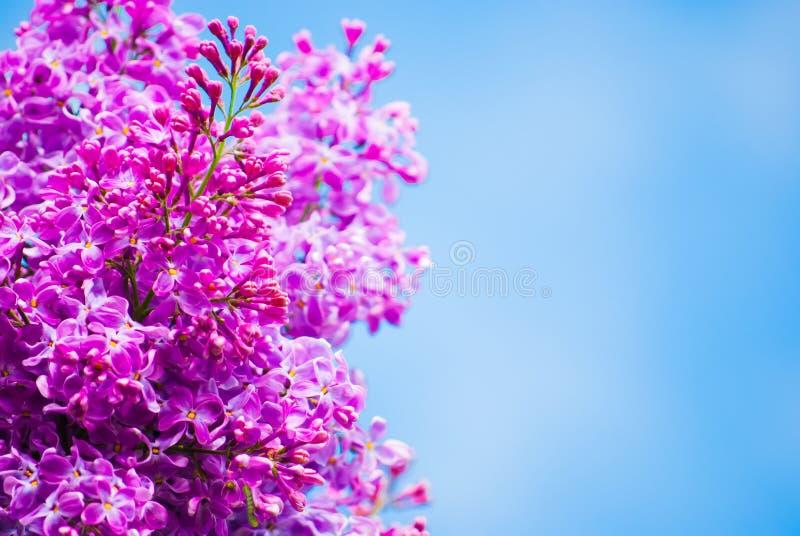 Lila púrpura en cielo azul imagen de archivo