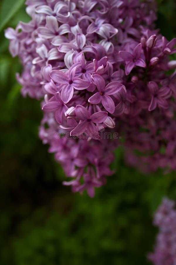 Lila púrpura en la floración completa de la primavera foto de archivo