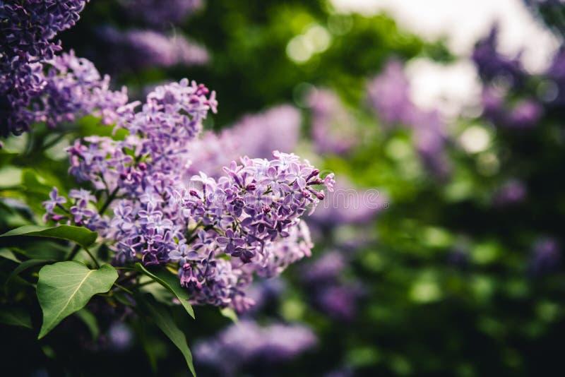 Lila púrpura hermosa foto de archivo libre de regalías