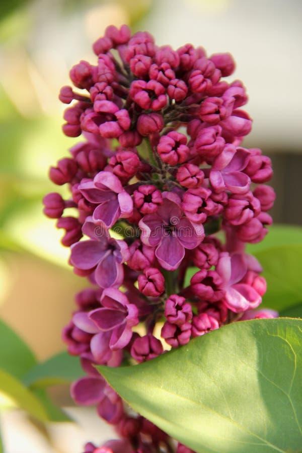Lila púrpura Seringe que florece en Stavanger fotos de archivo libres de regalías