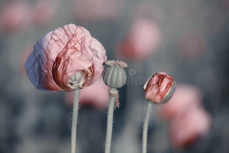 Lila Poppy Flowers arkivbilder