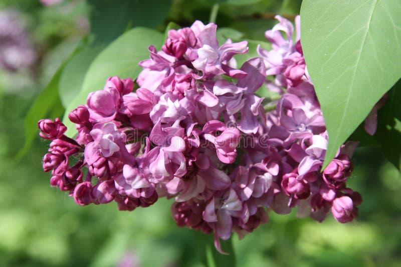 Download Lila purple för filial arkivfoto. Bild av leaves, färg - 19789704