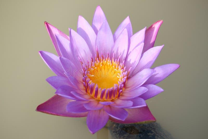 Lila-rosa färger lotusblommablommor blommar i dammet | Thailand arkivbilder