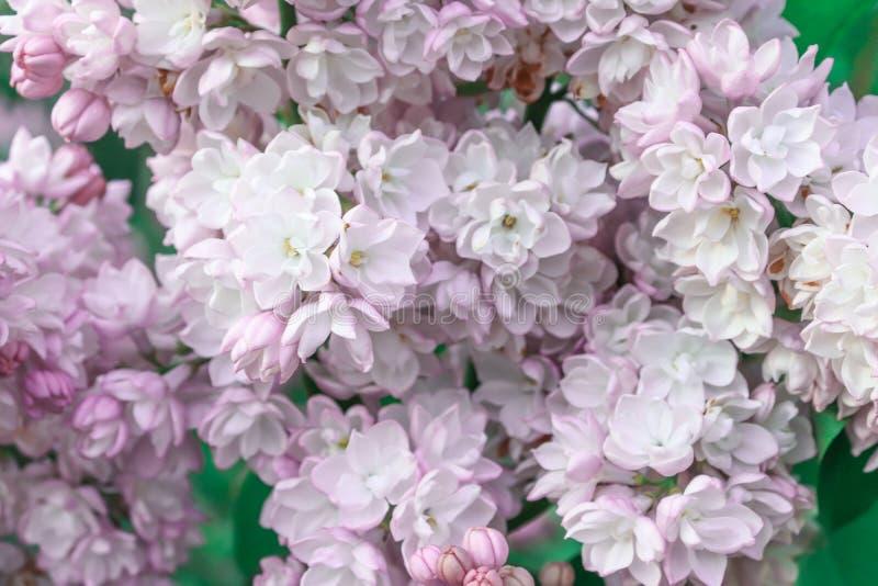 Lila rosada delicada blanda, flores dobles vulgaris del Syringa como fondo imagenes de archivo