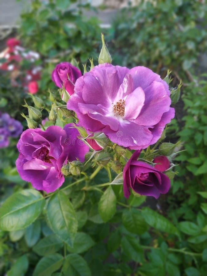 Lila Rosen im Blumenbeet lizenzfreie stockfotos