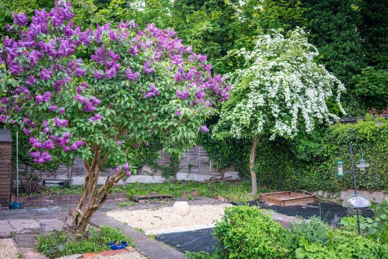 Lila träd i tillbaka trädgård arkivbild