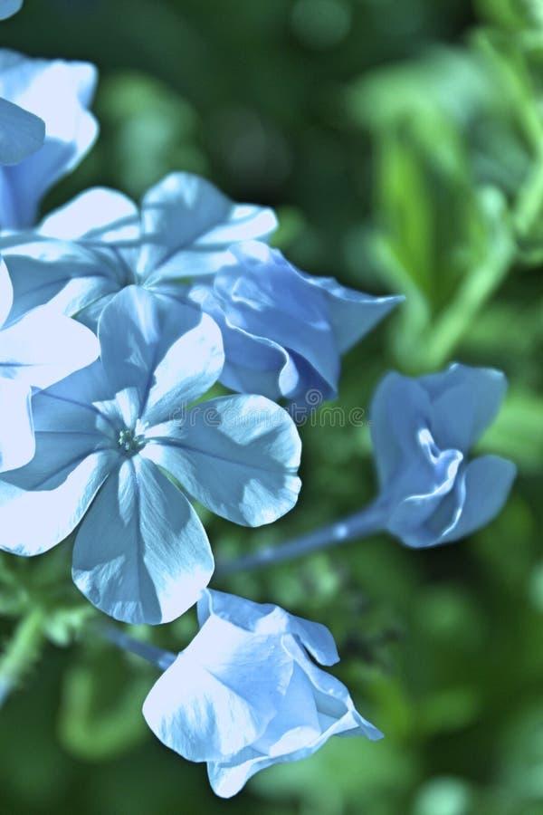 Lila trädgårdträdgård för vita blommor arkivfoton