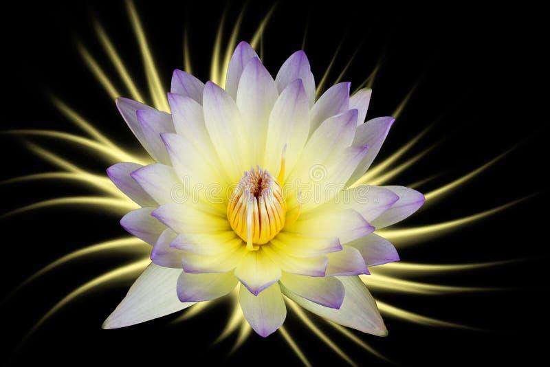 Lila-vit lotusblommablommor som isoleras på svart bakgrund stock illustrationer