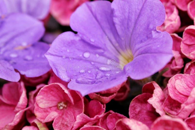 Lila y flores rosadas con las hojas verdes en descensos de rocío imágenes de archivo libres de regalías