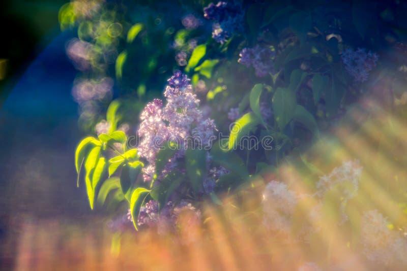 Lila y sol imagen de archivo