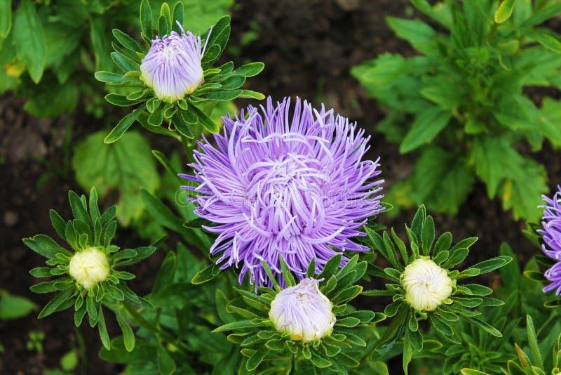 Lilaaster som omges av vita knoppar Purpurfärgad aster som är gortennziy på en isolerad bakgrund arkivfoto