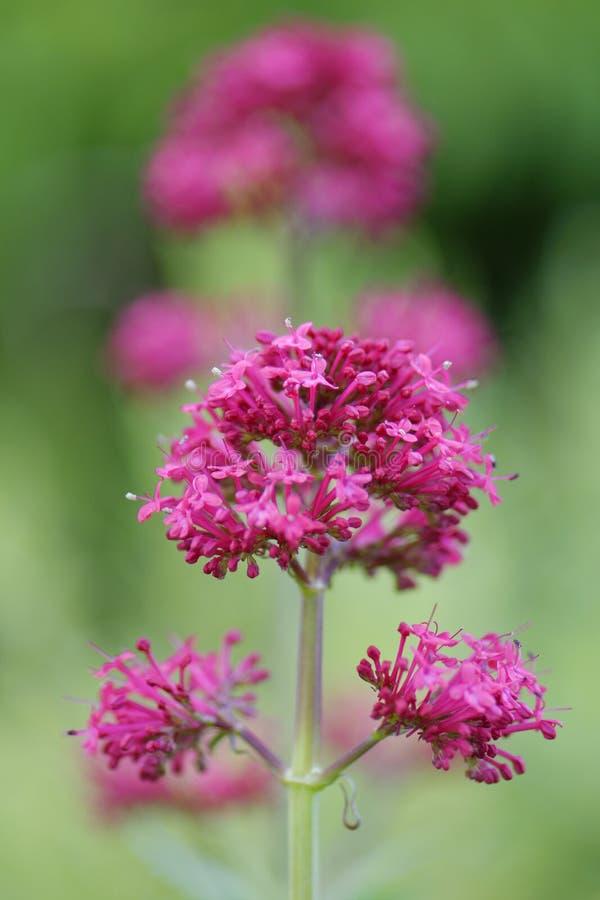 Lilablomma i en engelsk trädgård royaltyfria foton