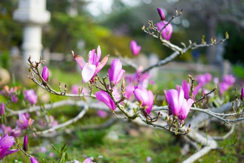 Lilablomma i japansk teträdgård fotografering för bildbyråer