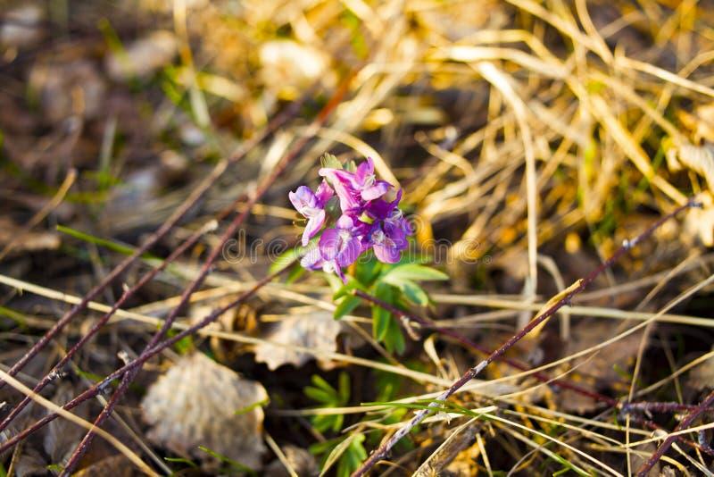 Lilablomma p? naturlig bakgrund Blomman i skogen är det våren royaltyfri foto