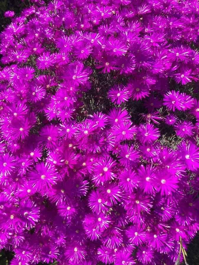 Lilablomma under solen arkivfoton