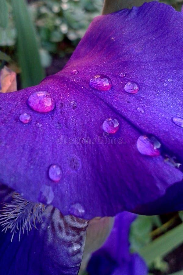 Lilablommakronblad av irins med vatten tappar arkivfoto