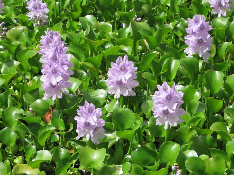 Lilablommor, gröna briljantsidor royaltyfria foton