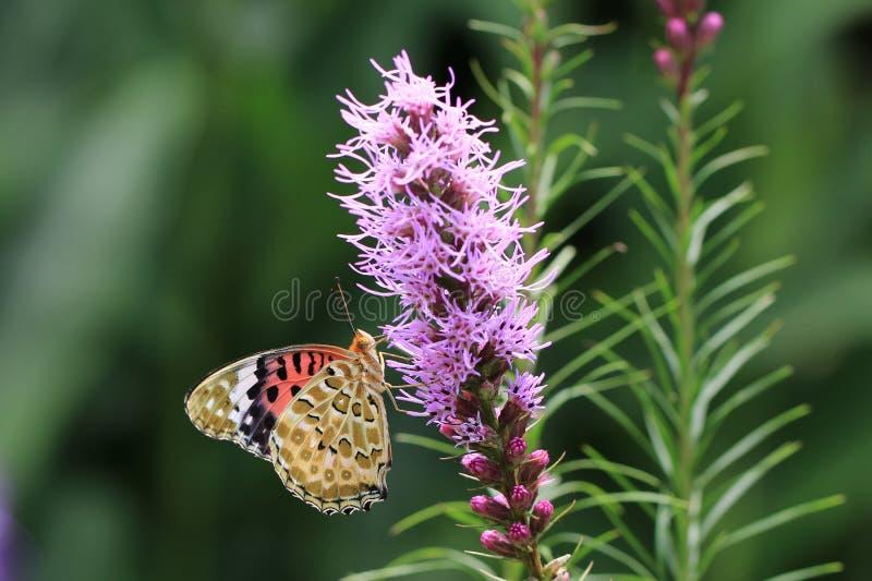 Lilablommor och fjäril arkivbild