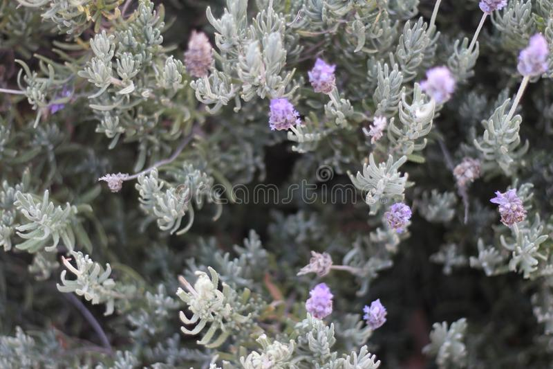 Lilablommor och gräsplansidor royaltyfria foton