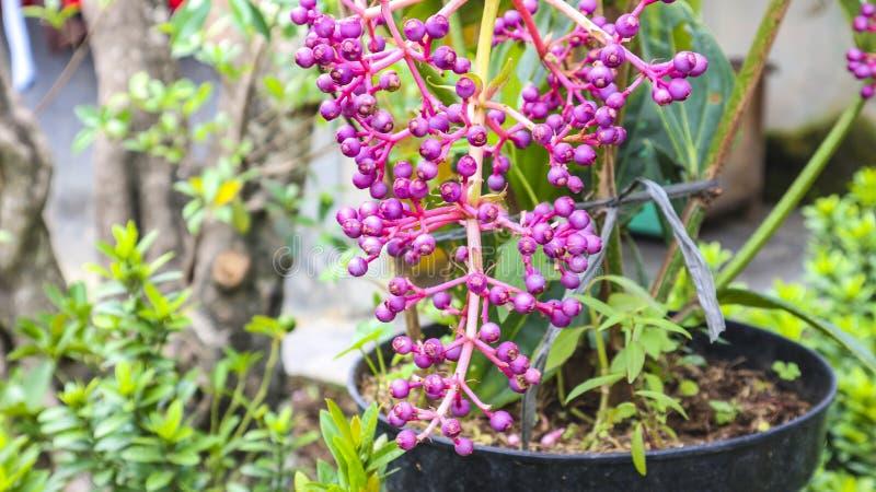 Lilabollblomma i trädgården royaltyfria foton