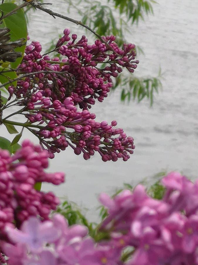 lilac fotos de stock