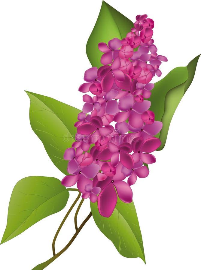 Lilac ilustração stock
