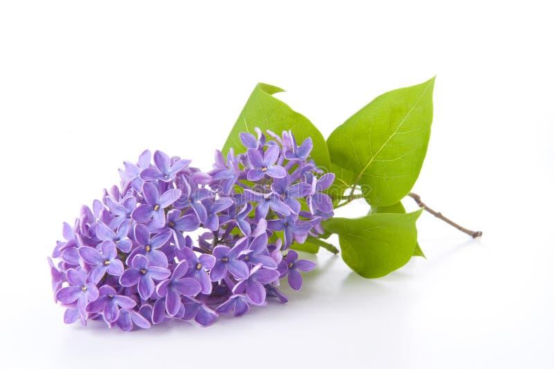 Lilac fotografia de stock