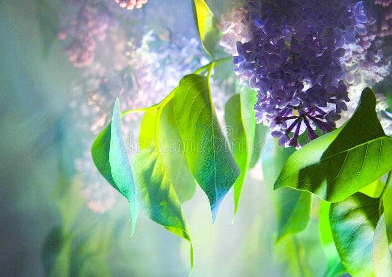 Download Lilac stock photo. Image of plant, beautiful, beauty, blur - 2208306